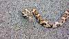 Eastern Milk Snake found on the Erie Canal bike path.