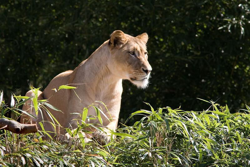 Lion spots a target.