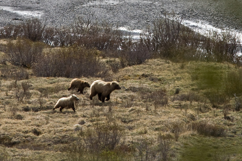 Running is okay Grizzly bears  Denali National Park    Alaska;