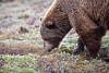 Bear in Denali ,Grizzly bear,  Denali National Park    Alaska;
