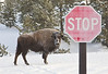 Lone Bison stops to look at us when we stopped in our snow coach.  yellowstone national park