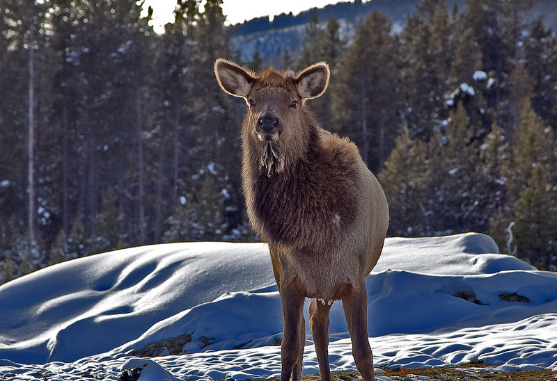Miss Elk  yellowstone national park
