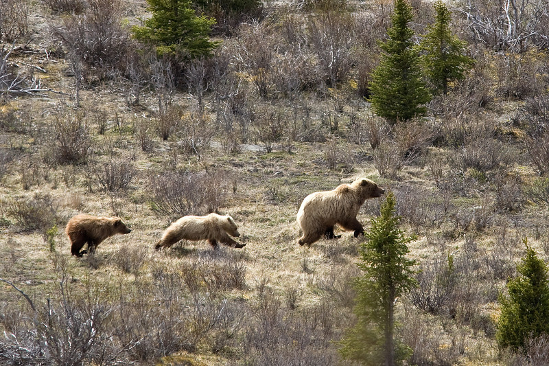 Turned.... good choice Grizzly bears  Denali National Park    Alaska;