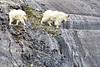 Mountian Goats     Alaska;