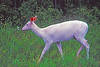 Rare White (Albino?), White tailed deer.  Located in the Seneca Army Depot.