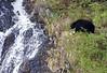 Black Bear     Alaska;
