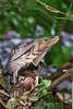 Iguana Lizard in Manuel Antonio Park in Costa Rica ;