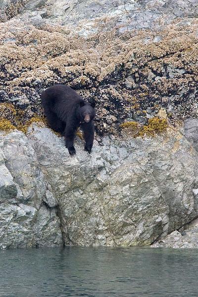 Bear_     Alaska;