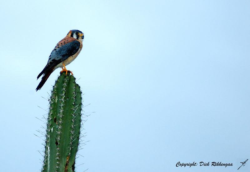 Falco sparverius<br /> Falcon - American Kestrel