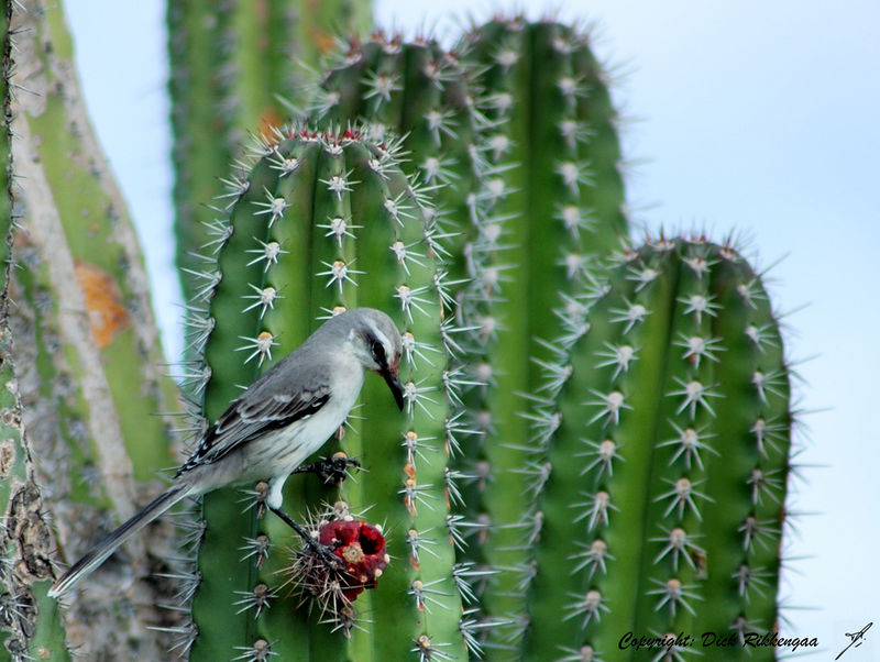 Mimus gilvus<br /> Tropical mockingbird