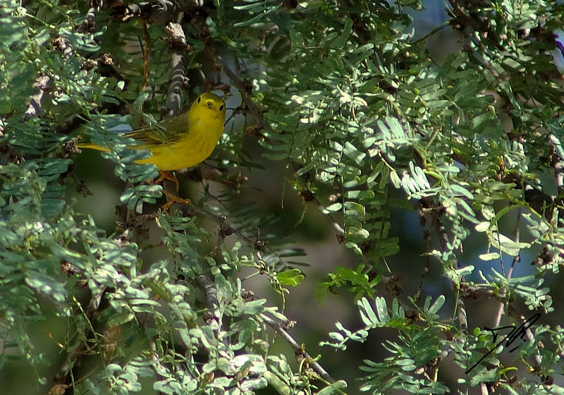 Dendroica petechia<br /> Yellow warbler