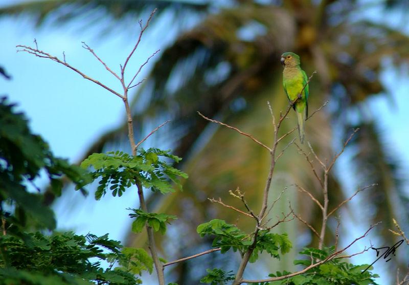 Aratinga pertinax<br /> Caribbean or brown throated parakeet