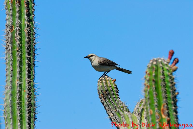 August-04-2013-Mockingbird1