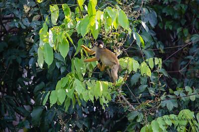 Black-capped Squirrel Monkey - Record - Oxbow lake near Tambo Blanquillo Lodge, Peru