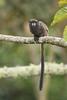 Black-mantled Tamarin - Sumaco, Ecuador