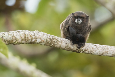 Black-mantled Tamarin - Sumaco, Ecuador