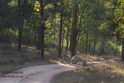 Gray Langurs - Pench National Park, Madhya Pradesh, India