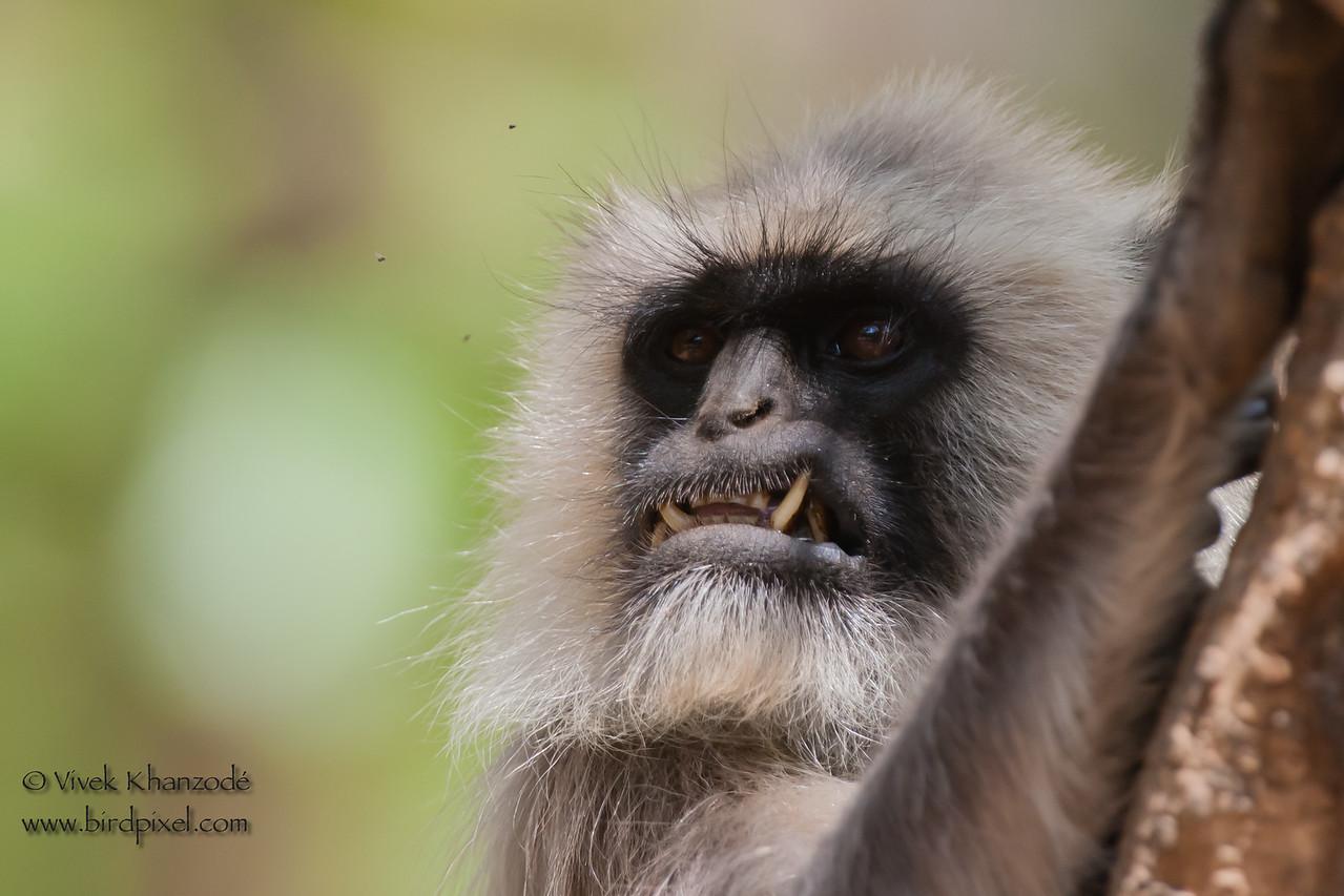 Gray Langur - Kanha National Park, Madhya Pradesh, India