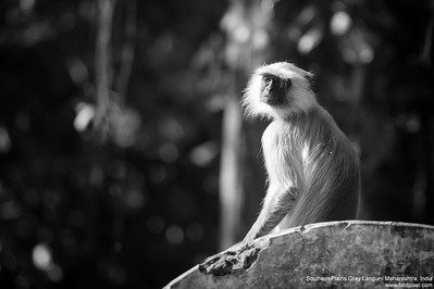 Southern Plains Gray Langur - Maharashtra, India