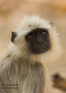 Gray Langur - Kanha National Park , Madhya Pradesh, India