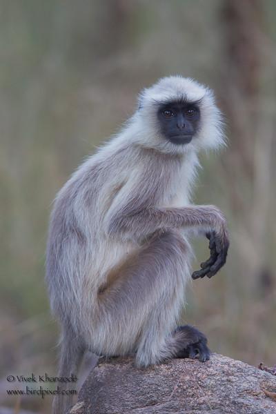 Gray Langur - Pench National Park, Madhya Pradesh, India
