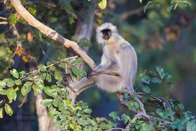 Gray Langur - Pench National Park, Madhya Pradesh, India