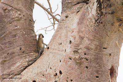 Vervet Monkey on a Baobab tree - Tarangire National Park, Tanzania