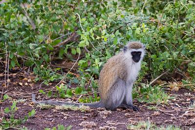 Vervet Monkey - Lake Manyara National Park, Tanzania