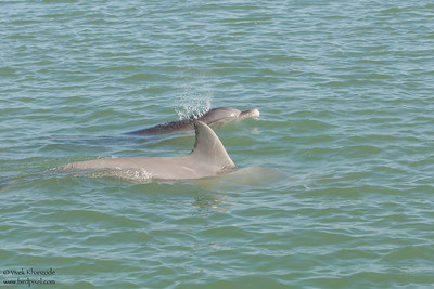Common Bottlenose Dolphin - Brownsville, TX, USA