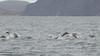 Common Bottlenose Dolphin - Punta Vicente Roca, Isla Isabela, Galapagos, Ecuador