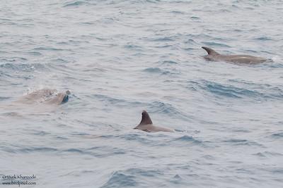 Common Bottlenose Dolphin - Near Playa Negra, Isla Marchena, Galapagos, Ecuador