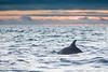 Common Dolphin - Galapagos, Ecuador