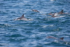 Long-beaked Common Dolphin - Nr. Moss Landing, CA, USA