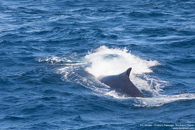 Fin Whale - Drake's Passage, Southern Ocean