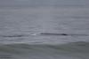 Gray Whale - Record - Near Oso Flaco Lake, Nipomo, CA, USA