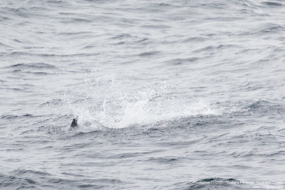 Hourglass Dolphin - Drake's Passage, Southern Ocean