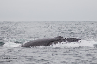 Humpback Whale diving - Near Moss Landing, CA, USA
