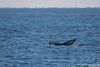 Humpback Whale - Monterey Bay, CA, USA