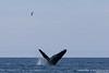 Humpback Whale - Nr. Moss Landing, CA, USA