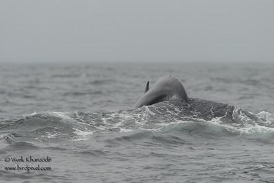 Humpback Whale -  Farallon National Wildlife Reguge,  CA, USA