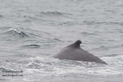 Humpback Whale - Half Moon Bay Pelagic, CA, USA