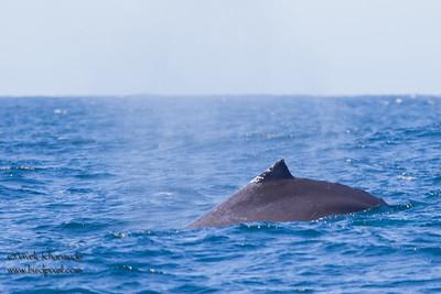 Humpback Whale - Monterey, CA, USA