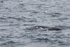 Northern Right Whale Dolphin - Monterey Bay, CA, USA