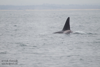 Orca or Killer Whale - Near Moss Landing, CA, USA
