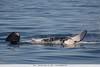 Orca -  Monterey Bay, CA, USA