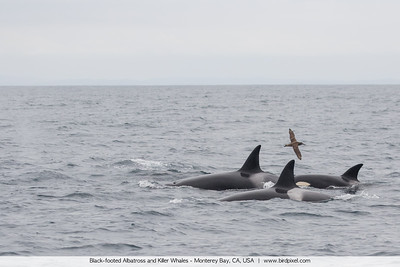 Black-footed Albatross and Killer Whales - Monterey Bay, CA, USA
