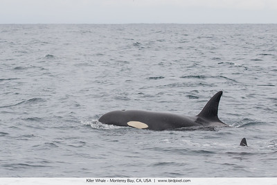 Killer Whale - Monterey Bay, CA, USA