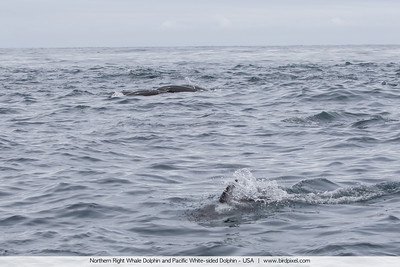 Northern Right Whale Dolphin and Pacific White-sided Dolphin - USA
