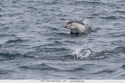 Pacific White-sided Dolphin - USA