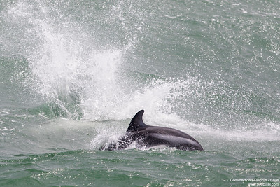 Peale's Dolphin - Chile